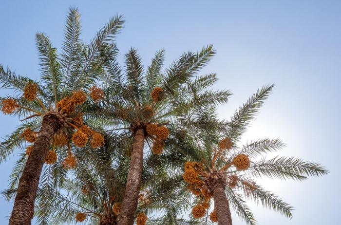 Cuidados de las palmeras palmeras plantas exterior for Palmeras de exterior