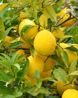 Easy jard n limonero sin limones for Limonero sin limones
