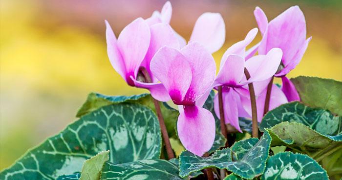 violetapersa