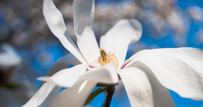 Magnolio-stellata